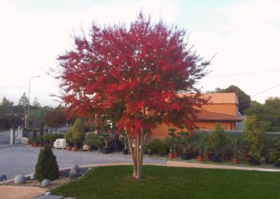 Arbusti e Arbusti Decidui e Sempreverdi Vivai Barbazza