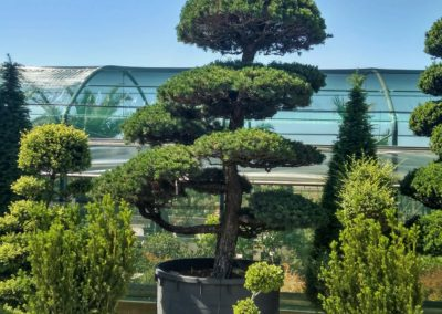 Bonsai e arte topiaria Vivai Barbazza